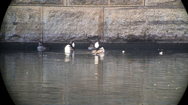 31 Jan:  Hooded Mergansers displaying in Central Park