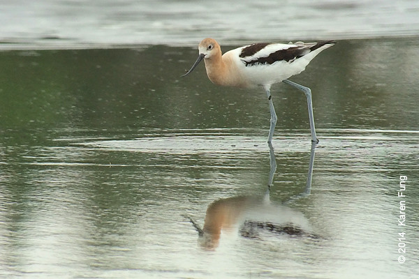 2 August: American Avocet at Jamaica Bay WR.  Digiscoped.