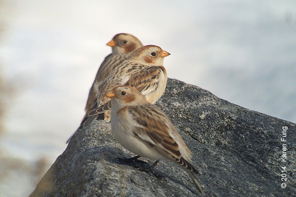 1 Feb: Snow Buntings on Randall's Island. iPhone 5s + Swaro 80mm w/25-50x  + Kowa iPhone adapter