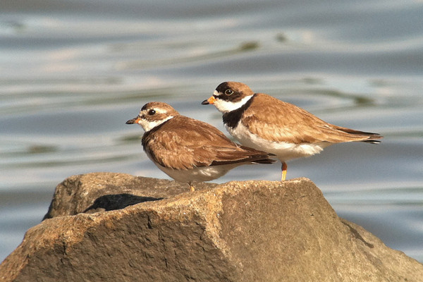 4 August: Semipalmated Plovers in Piermont, NY
