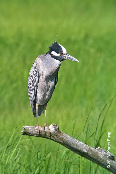 23 June: Yellow-crowned Night-Heron at the Oceanside Marine Nature Study Area