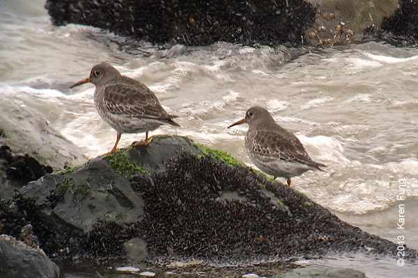 8 Dec: Purple Sandpipers at Point Lookout.  Zeiss 85mm Diascope + iPhone 5s + Kowa iPhone adapter