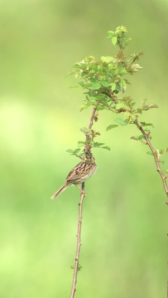 2 June 2018: Henslow's Sparrow at Shawangunk Grasslands NWR