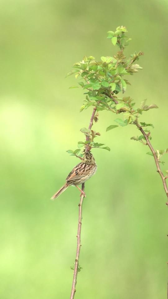 2 June 2018: Henslow's Sparrow at Shawangunk Grasslands NWR