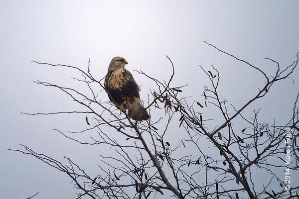 12 Jan: Rough-legged Hawk at DeKorte Park