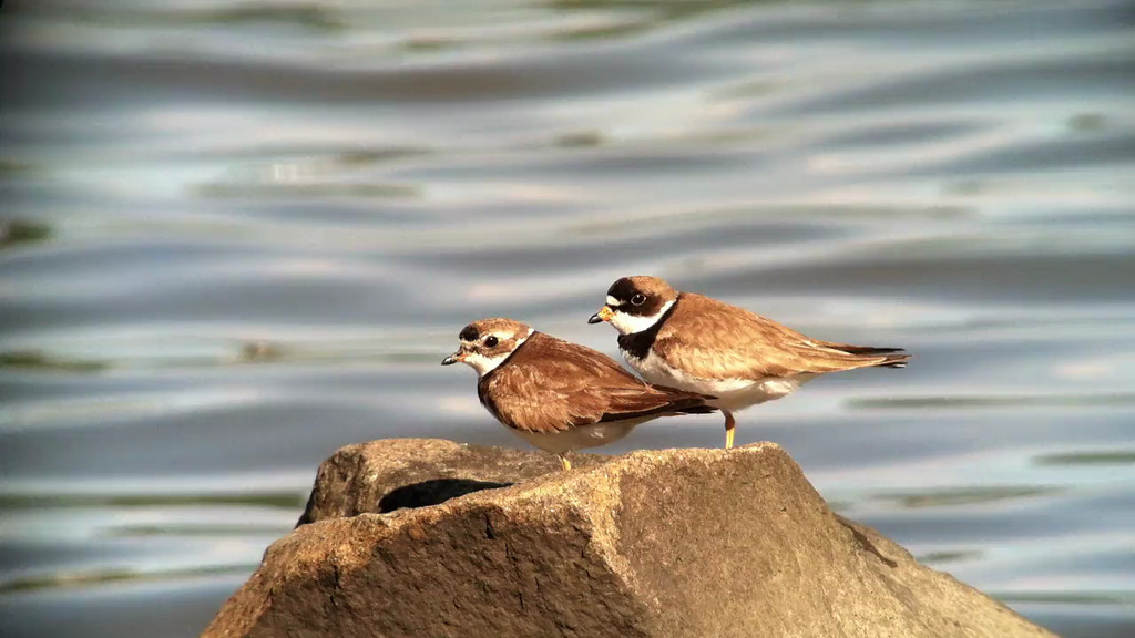 4 August: Semipalmated Plovers (adult and juvenile) in Piermont, NY