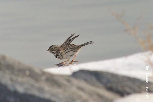 1 Feb: Savannah Sparrow on Randall's Island. iPhone 5s + Swaro 80mm w/25-50x + Kowa iPhone adapter