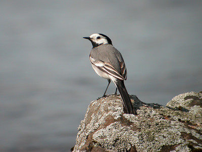 8.5.2006 Joutsa, Finland (Digiscoping)