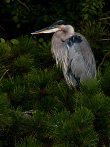 Great Blue Heron at Fermilab