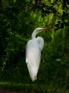 Great Egret striking a pose; fermilab