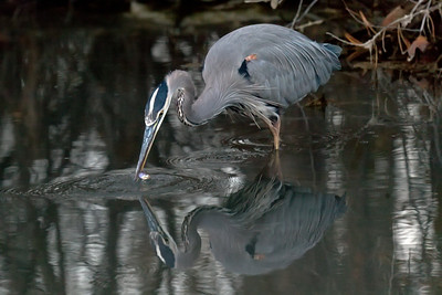 Great Blue Heron fishing #4