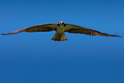 Male Osprey in Flight.