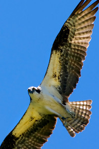 Male Osprey looking down.