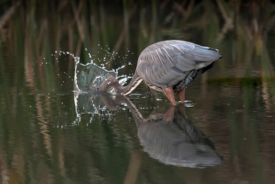 Great Blue Heron fishing #2