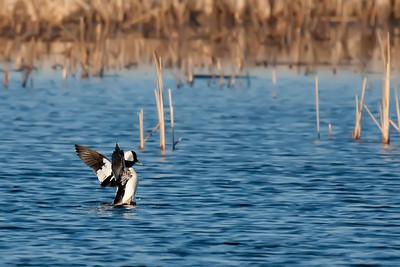 Male Bufflehad landing in a pond.