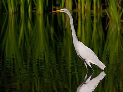 Great egret; fermilab
