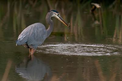 Great Blue Heron fishing #1