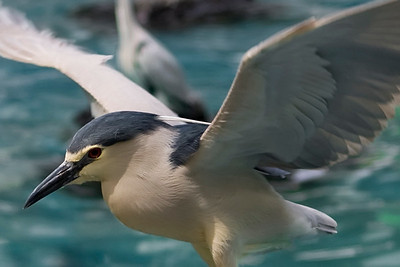 Black-crowned night heron; Osaka, Japan