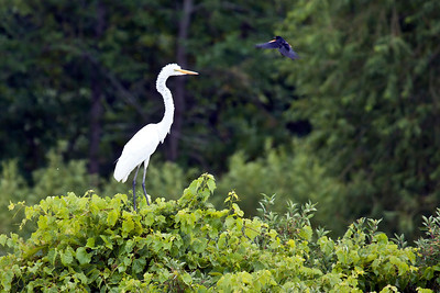 Great Egret and Red-winged Blackbird