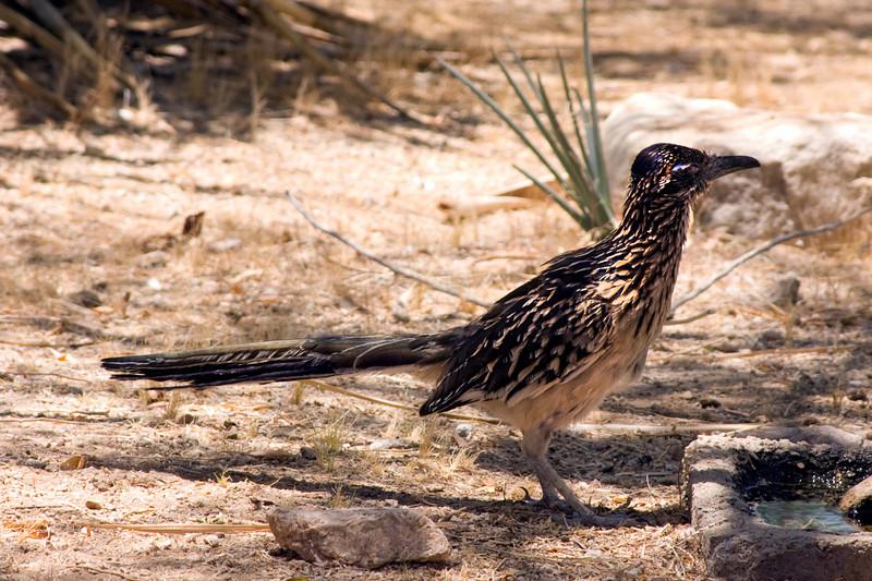 Road Runner - Mojave Desert 2009.  Meep Meep!