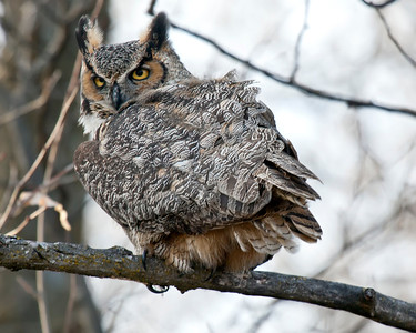 Great Horned Owl at Fermilab #3