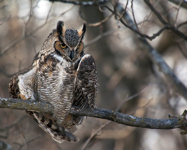 Great Horned Owl at Fermilab #4