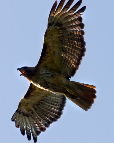 Red Tailed hawk in flight.
