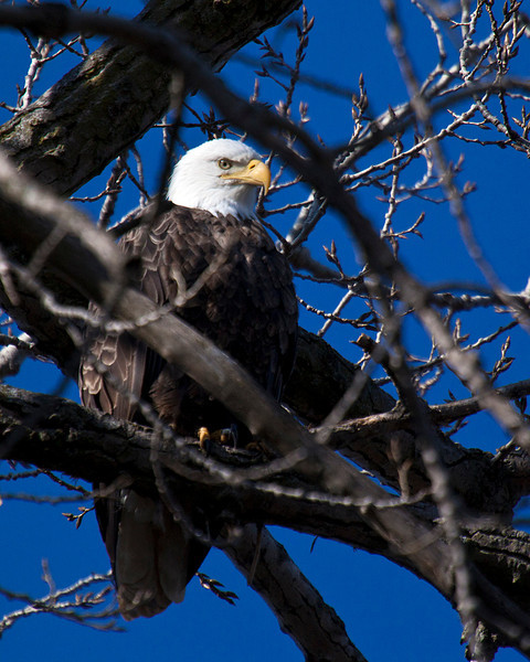 American Bald Eagle on the Illinois River at Starved Rock State Park