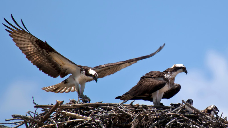 Mating Osprey Pair and Fledglings  - Fermilab