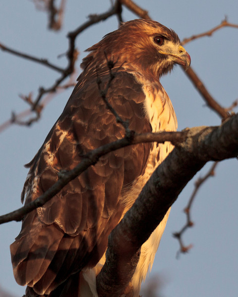 Portrait of a red tailed hawk looking for its next meal.