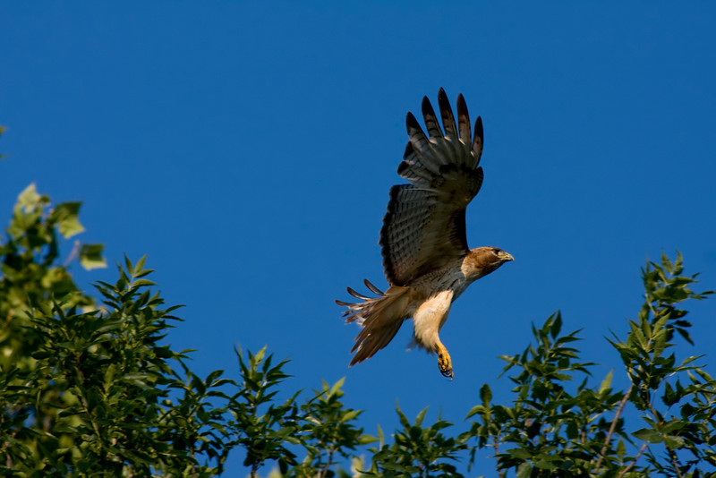 Red tailed hawk taking flight.