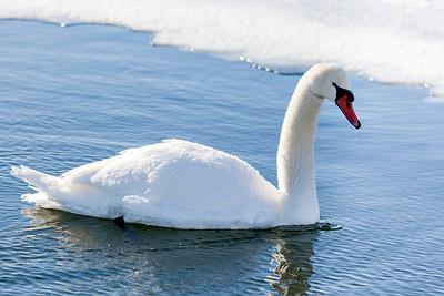 Mute Swan - Fermilab Main Injector Pond