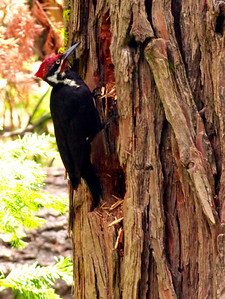 Pileated Woodpecker - Mariposa Grove, Yosemite National Park.