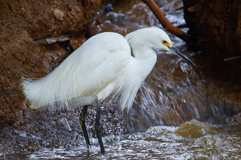 snowy egret waiting for lunch