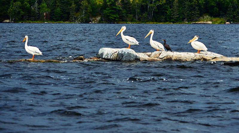 4 pelicans and a cormorant
