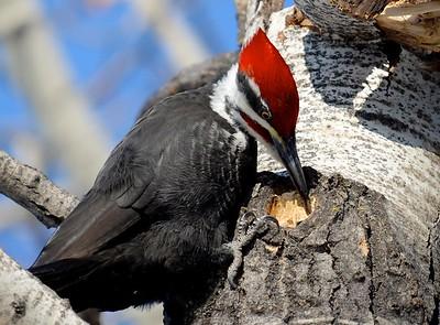 piliated woodpecker examining progress