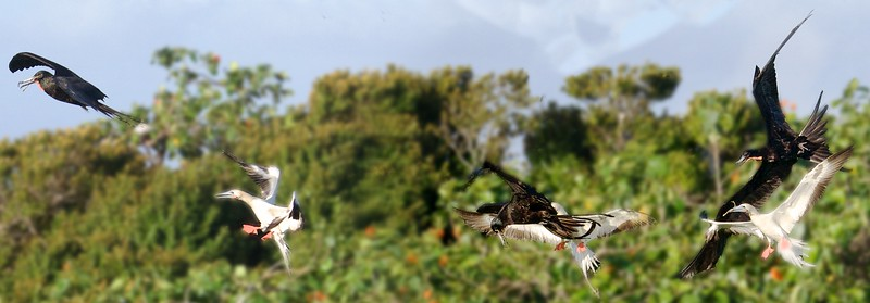 kleptoparasitic frigatebird