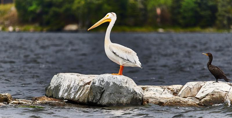 like pelican, like cormorant