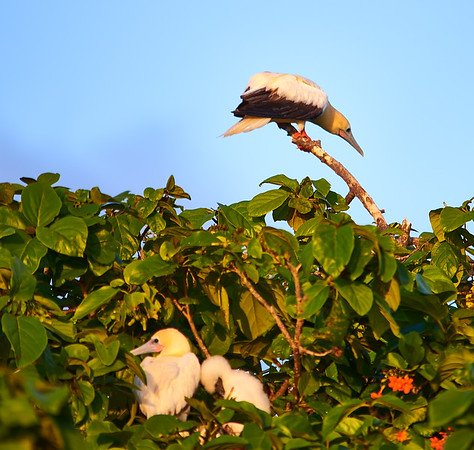 red-footed booby parents with baby