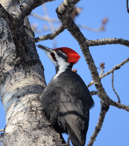 piliated woodpecker with tongue out