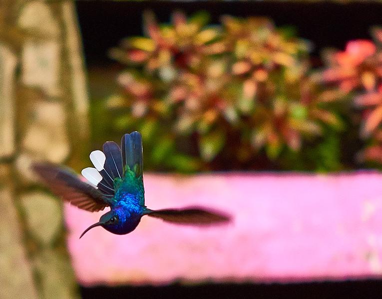 humming bird swooping