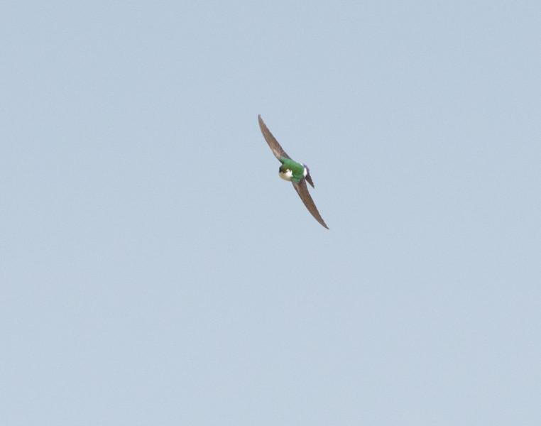 Head-on shot of violet-green swallow, 26 March 2011, Crozet VA.