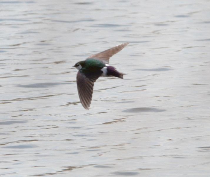 Violet-green Swallow at Old Trail Golf Course Pond, about 1 mile SW of Crozet, VA. Taken at 11:23 26 March 2011 (you can see photo data by hovering over the upper right side of photo and then clicking on the i in the panel. This photo shows diagnostic features of V-g swallow very clearly, including white above eye, green back, white sides of rump and purple tail.  The only manipulation of photo was cropping... no color changes or sharpening.  This is true for all subsequent photos.