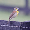 "Dickcissel photographed 17 May 2011 at Greenfield Farm, Albemarle Co, CA.  One of 4 males heard singing at 7 am.  To see map of location use this URL: <a href=""http://bit.ly/mog1hE"">http://bit.ly/mog1hE</a>"