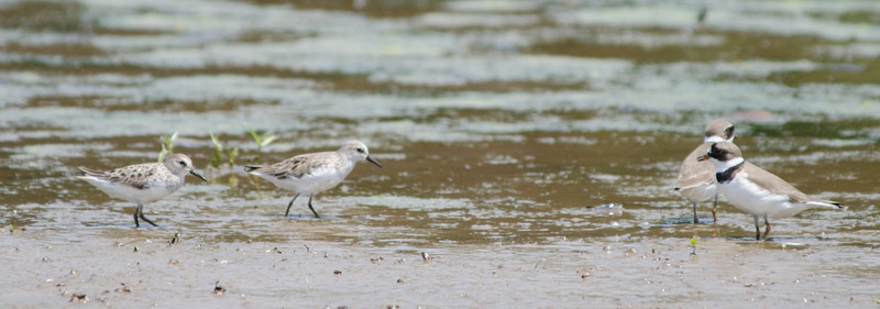26 May 2012. Semipalmated Sandpipers and Semipalmated Plovers have face-off at Lickinghole Pond
