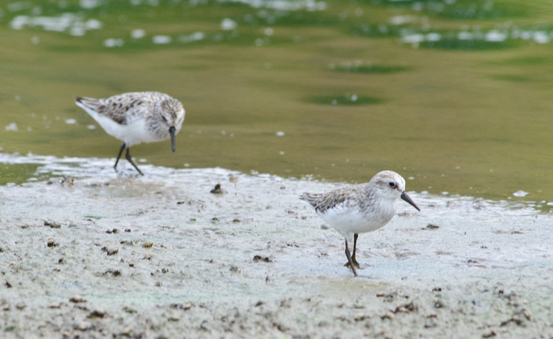 Semipalmated Sandpipers at Lickinghole Creek Pond, 26 May 2012.  The bird in the rear is further along in spring molt, looking more or less like they do on their Arctic breeding grounds.