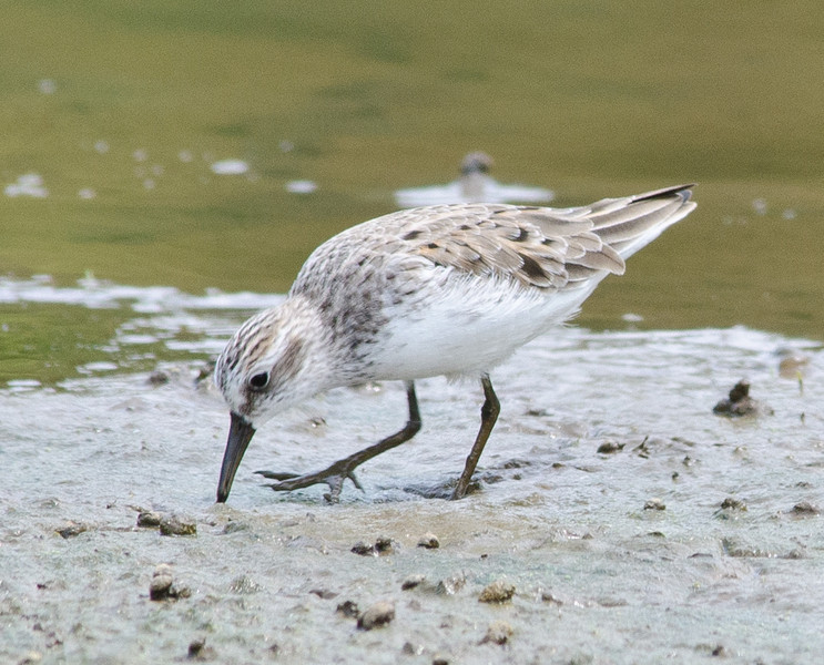 2012-0526 Semipalmated Sandpiper at Lickinghole Creek Pond, showing off its semipalmation between toes on the right foot.  Western Sandpipers have semipalmation also but their bills are longer and their coloration is much more reddish brown.