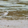 26 May 2012 Semipalmated Sandpipers and Semipalmated Plovers on muddy delta at Lickinghole Creek