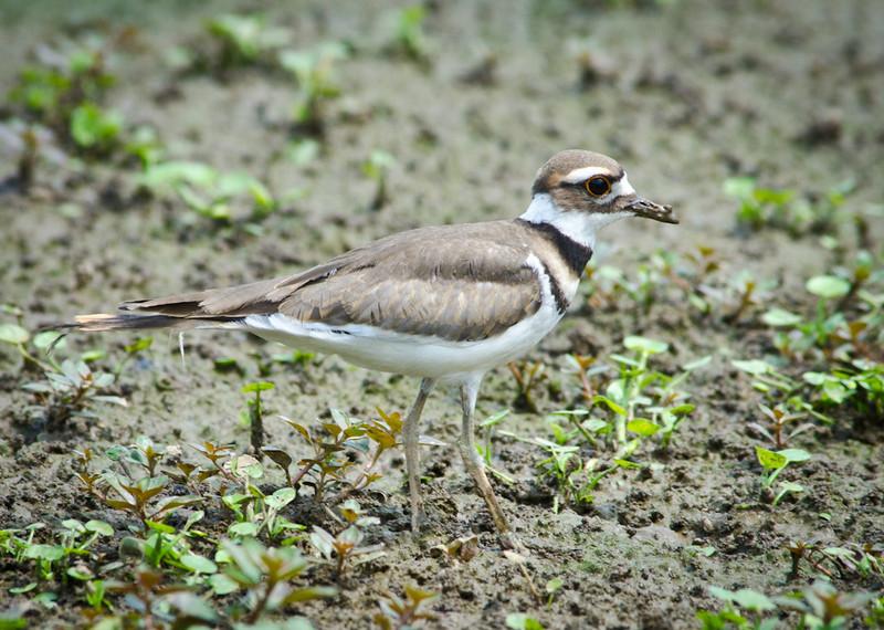 Recently fledged Killdeer at Lickinghole Creek Pond, 26 May 2012.