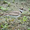 Recently fledged Killdeer at Lickinghole Creek Pond, 26 May 2012.